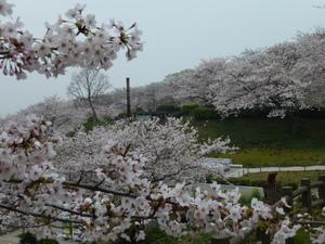 竜王山の桜(3).JPG