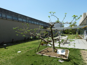 ニュートンのリンゴの木.JPG