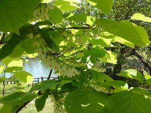 ハクウンボクの花.JPG