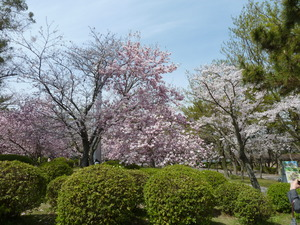 ピンクのこぶしの花.JPG