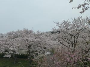 竜王山の桜(1).JPG