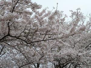 竜王山の桜(2).JPG