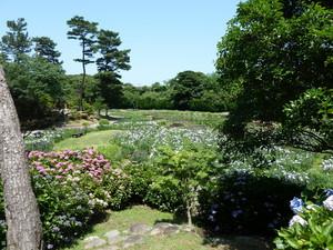 常盤公園菖蒲(1).JPG