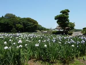 常盤公園菖蒲(2).JPG