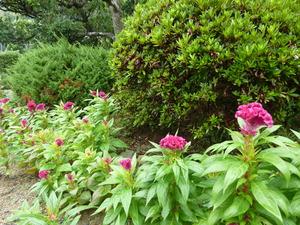 庭の鶏頭の花.JPG