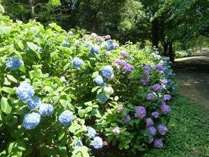 紫陽花(1).JPG