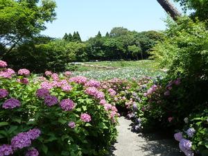紫陽花(2).JPG