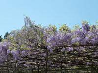 藤の木(1).JPG